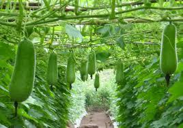 kinh nghiệm trồng bí đao tại nhà